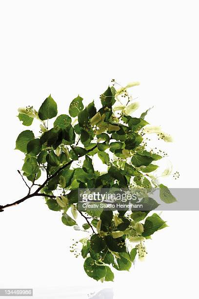 Lime or Linden (Tilia) leaves and seed heads