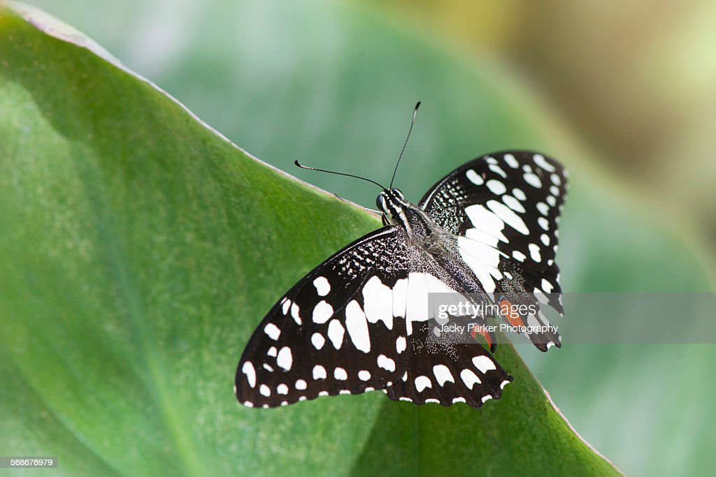 Lime swallowtail butterfly : Stock Photo