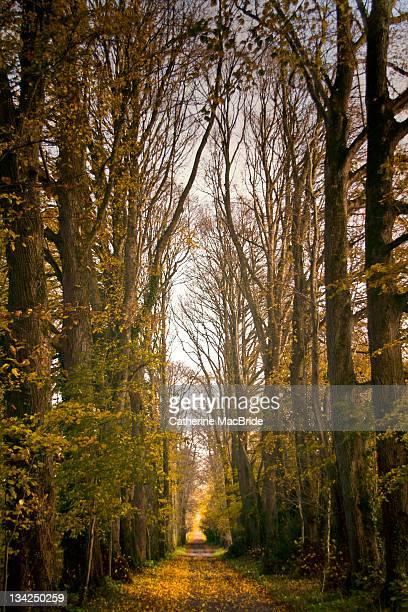 lime tree avenue - catherine macbride stock-fotos und bilder