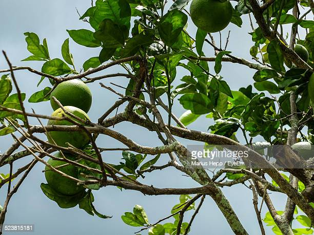 Lime Tree Branches With Ripe Limes