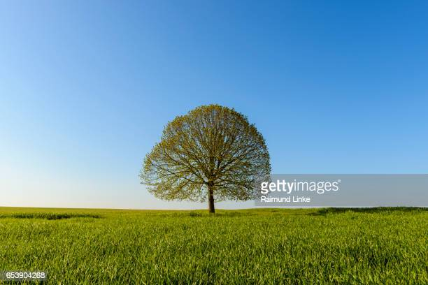 Lime tree in grainfield, Spring,Bavaria, Germany