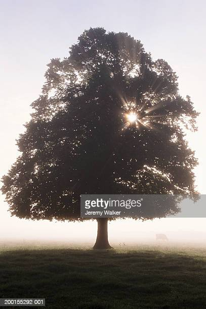 lime tree (tilia sp.) in meadow, cow in background, dawn - meadow walker stock pictures, royalty-free photos & images