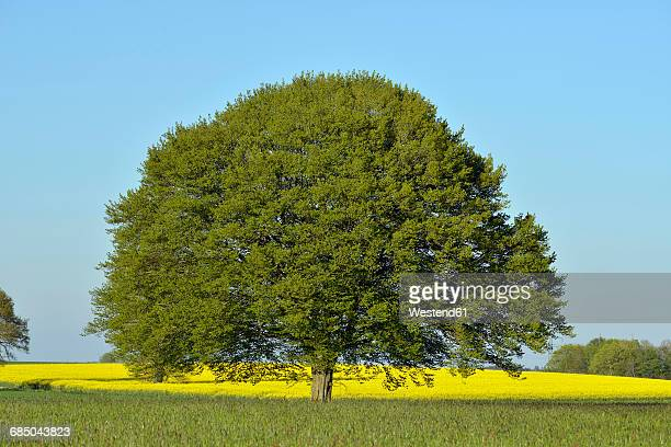Lime tree in the middle of fields in spring