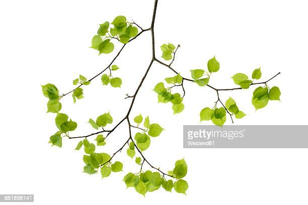 Lime tree leaves in front of white background