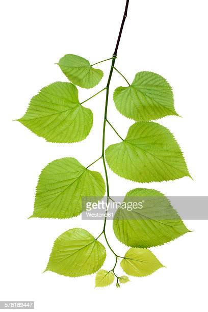 Lime tree leaves