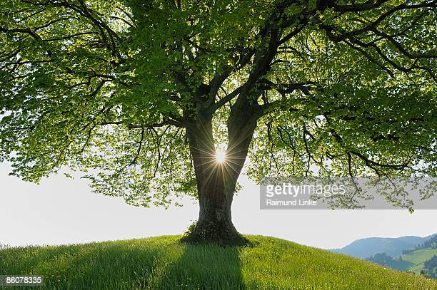 Lime tree on countryside, Canton Zurich, Switzerland