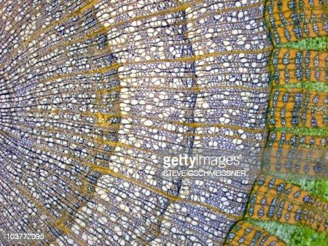 Lime tree stem, light micrograph
