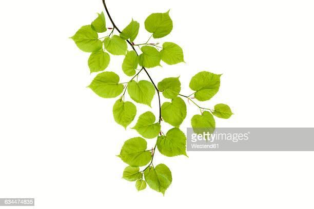 Lime tree, Tilia, leaves against white background