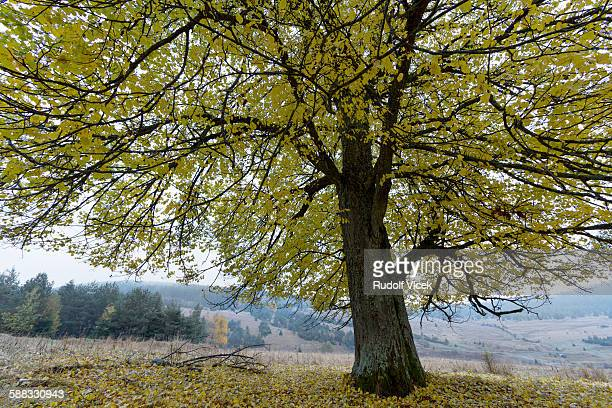 Lime tree with spreading large treetop in autumn