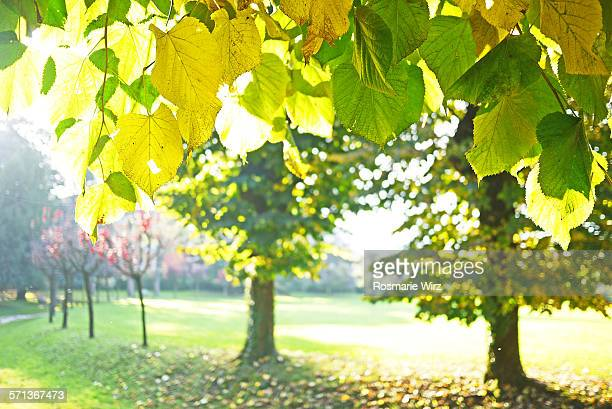 Lime trees in autumn