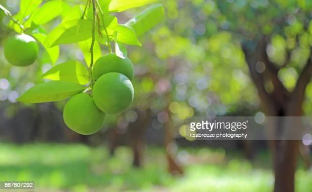 limes - citrus fruit