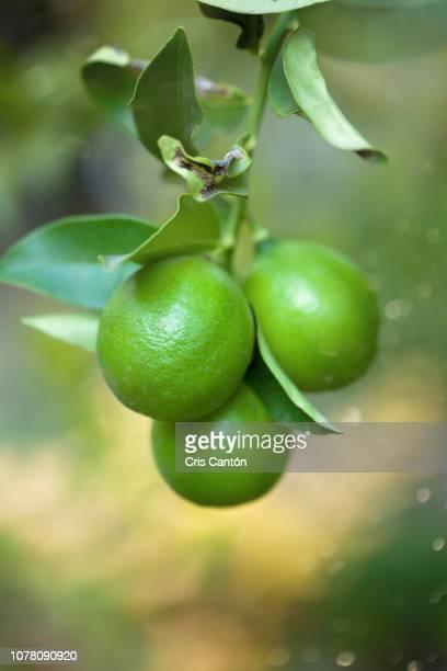 limes on tree - cris cantón photography fotografías e imágenes de stock