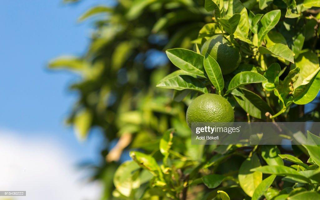 limes on tree : Stock Photo