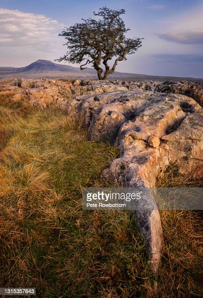 limestone tree - ash tree stock pictures, royalty-free photos & images