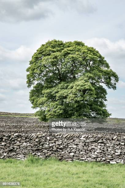 limestone walls and sycamore tree at litton, peak district, derbyshire - sycamore tree stock photos and pictures