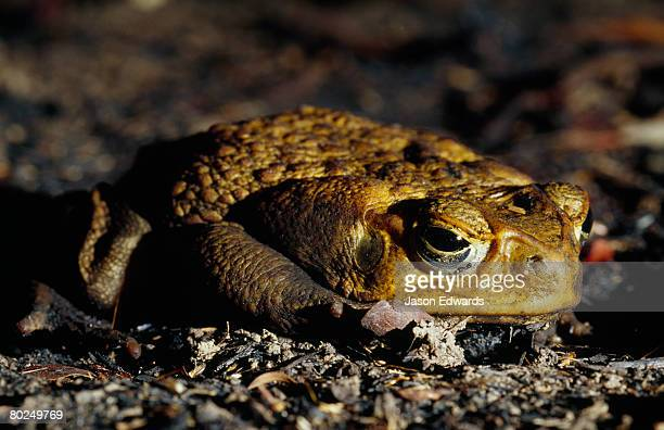 a can toad,bufo marinus, in a defensive posture. - cane toad stock pictures, royalty-free photos & images