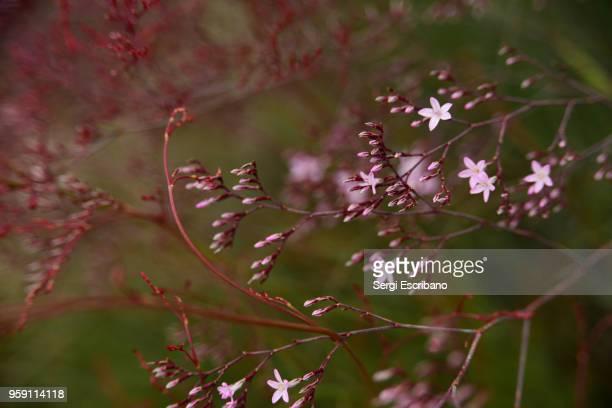 Limonium caesium plant