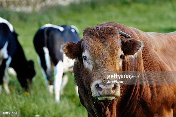 limousin bull and cows in a field - bull animal stock pictures, royalty-free photos & images