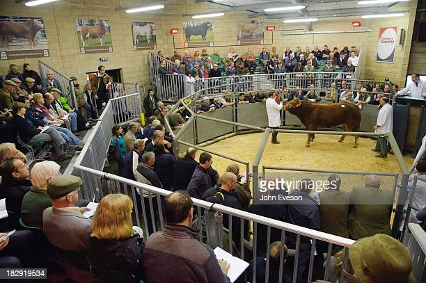 Limousin bull in a sale ring.