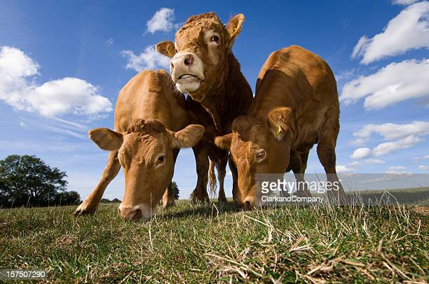 Limousin Bull With Two Cows