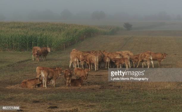 limousin cattle - and maize - charente stock pictures, royalty-free photos & images