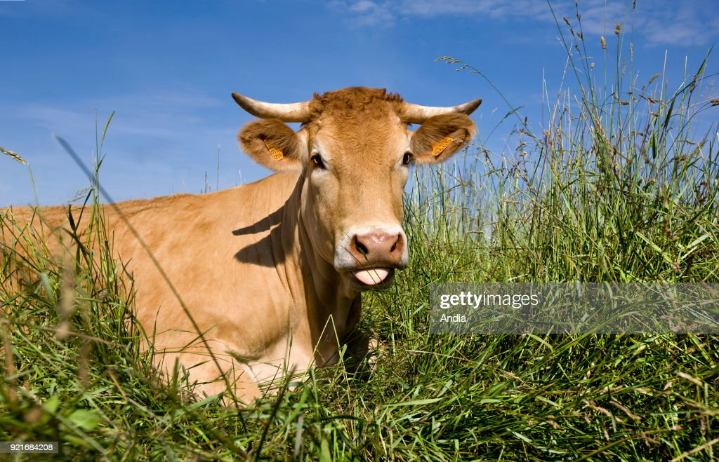 Limousin cow lying on grass, sticking its tongue out. Ruminating cow.
