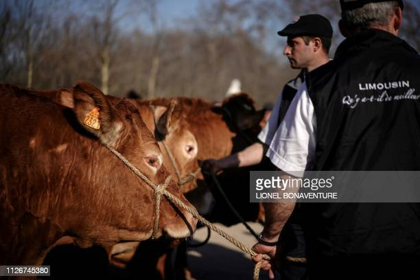 Limousines cows are presented by their owners to president of the French Senate at the Luxembourg garden in Paris on 22 February 2019