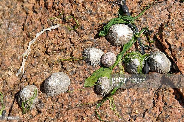 Limpet Limpets