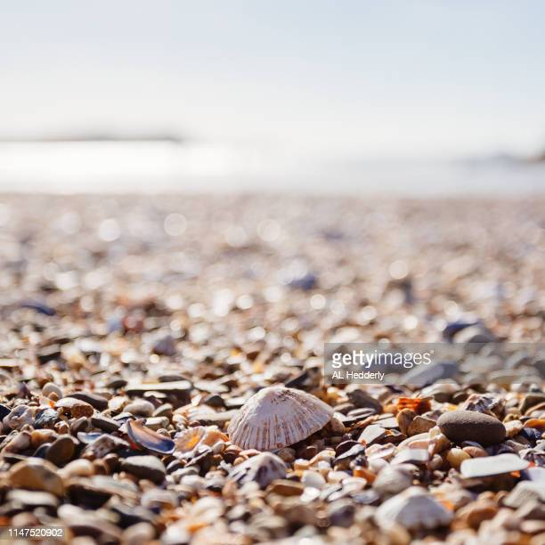 limpet shell on a cornish beach - limpet stock photos and pictures