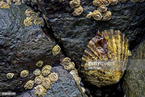 limpets -patellidae- in the surf zone on rocks, suouroy, faroe islands, denmark - limpet stock pictures, royalty-free photos & images