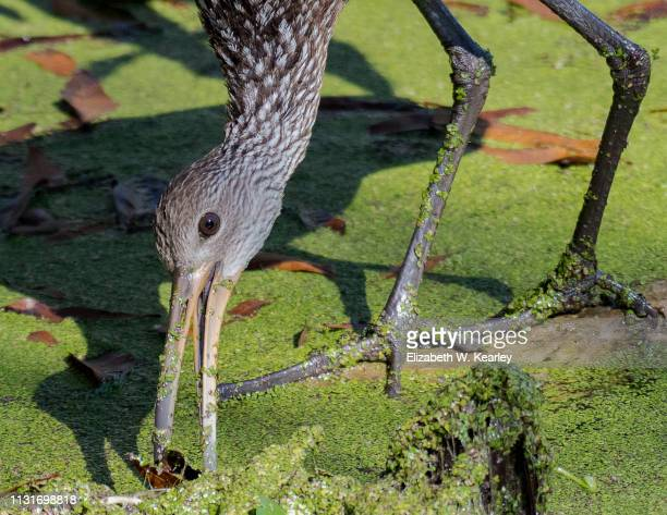 limpkin searching for food - lakeland florida stock pictures, royalty-free photos & images