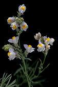 plantaginaceae scrophulariaceae