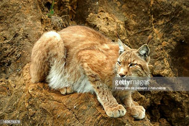 lince ibérico - lynx stock photos and pictures