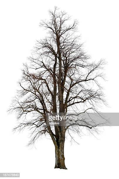 linden tree isolated on white - bare tree stock pictures, royalty-free photos & images