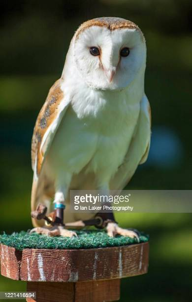 lindisfarne, northumberland, england, uk. 20 august 2005. portrait of captive barn owl - brown stock pictures, royalty-free photos & images