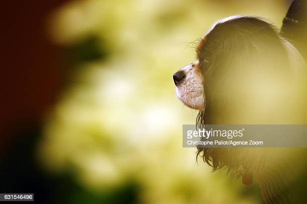 Lindsey Vonn's dog Lucy pictured at a press conference during the Audi FIS Alpine Ski World Cup Women's Downhill Training on January 12 2017 in...