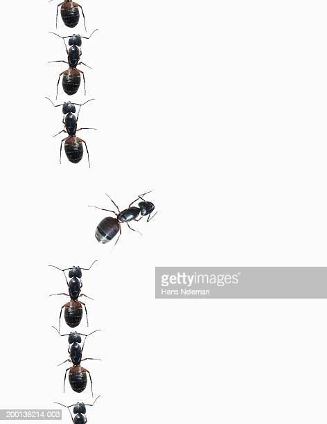 Line of ants, overhead view, close-up