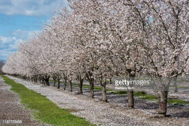 line of california almond trees in bloom against a blue clouded sky. - almond orchard stock photos and pictures