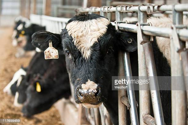 Line of dairy cows eating behind bars