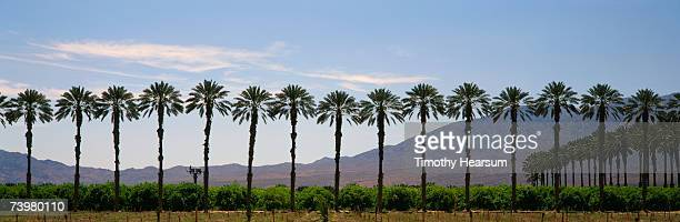 line of date palm trees with mountains in background - timothy hearsum stock pictures, royalty-free photos & images