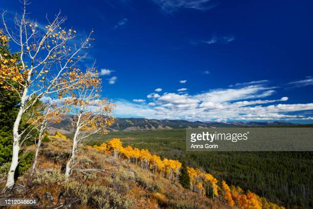 line of golden aspens on hillside in sawtooth mountains, stanley, idaho, above redfish lake on autumn afternoon - wilderness area stock pictures, royalty-free photos & images
