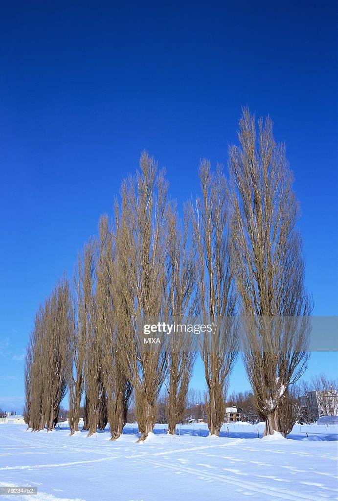 Line of poplar trees, Sapporo, Hokkaido, Japan : Stock Photo