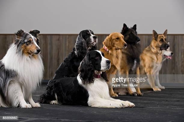 Reihe von purebred Hunde in Dressur