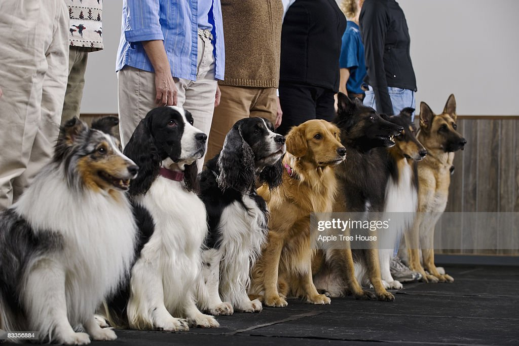 Line of purebred dogs in obiedience class : Stock Photo