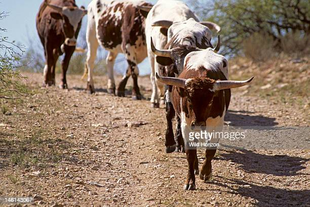 Line of registered Texas longhorn cattle Bos taurus Synonyms include Bos primigenius taurus Bos primigenius indicus Bos primigenius primigenius...