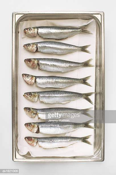 Line of Sardines in a Tin Can