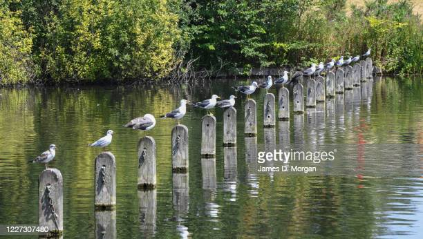 Line of seagulls sit onto of wooden stands in the Serpentine Lake on July 25, 2016 in London, England.