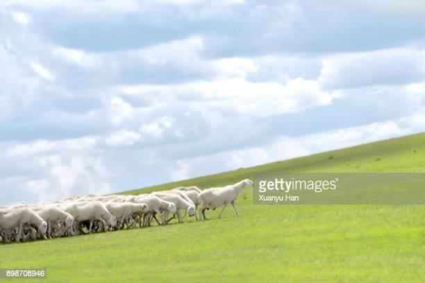 line of sheep walking on grassy field - 羊の群 ストックフォトと画像