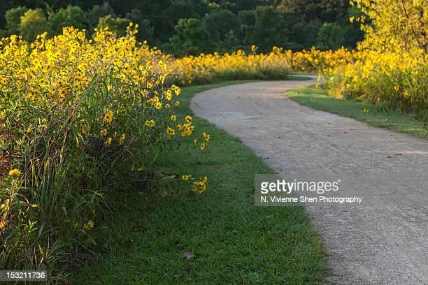 line of sunflowers - レイクフォレスト ストックフォトと画像