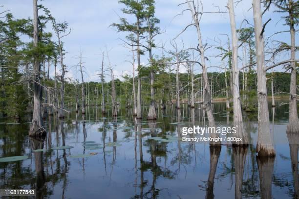 line of trees growing within a louisana bayou - ミシシッピ州 ストックフォトと画像